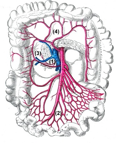 Äste der Arteria mesenterica superior