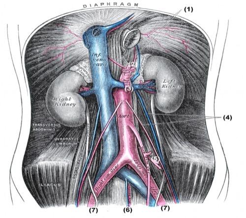 Äste der Aorta und Arterien der Bauchhöhle