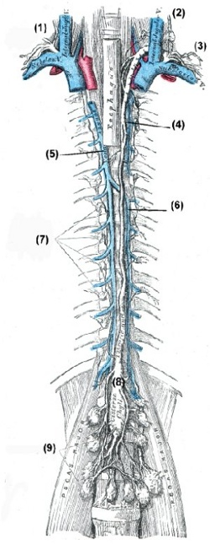 Abdomen (Bauchhöhle): Venen und Lymphgefäße – www.urologielehrbuch.de