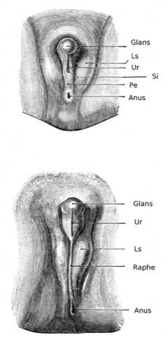 Entwicklung des äußeren männlichen Genitale Glans, Skrotalwülste (Ls), Urethralrinne (Ur), Öffnung des Sinus urogenitalis (Si), Perineum (Pe) und Anus. Unten: späte Phase mit Glans, Urethralrinne (Ur), Skrotalwülste (Ls), Raphe scroti und Anus
