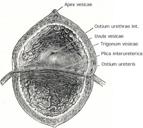anatomie harnblase