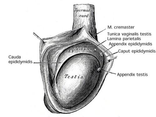 Abbildung Hoden Hüllen Anatomie Hodensack