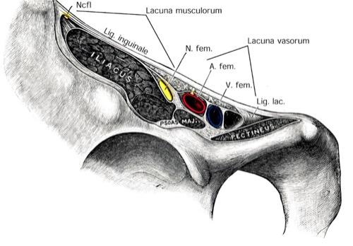 Leiste Muskulatur und Nerven der Leistenregion