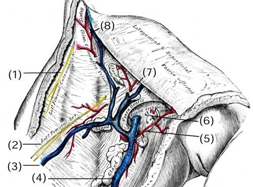 Anatomie der Leiste