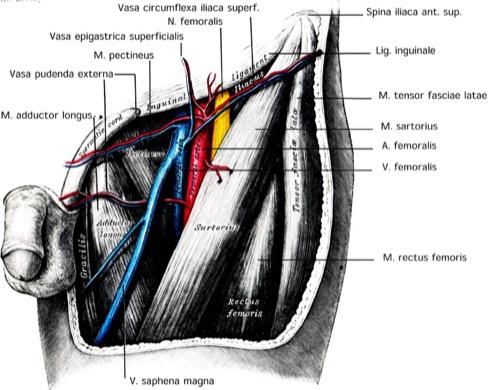 Leiste tiefe Anatomie