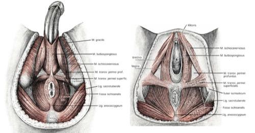 Anatomie des Beckenbodens