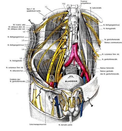 Bauchmuskeln und Nerven