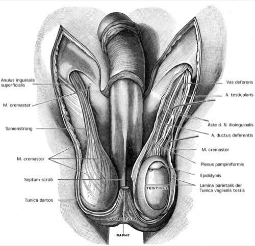 Abbildung Anatomie Hoden Hüllen und Samenstrang