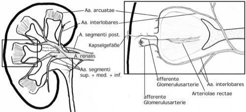 Schematischer Aufbau der Nierendurchblutung Segmentarterien Aa. interlobares Aa. arcuatae Aa. interlobulares