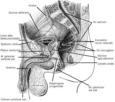 Abbildung Schnittbild-Anatomie der Harnblase und Becken mit Prostata beim Mann