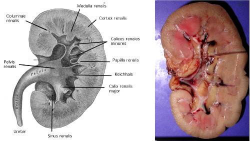 Abbildung makroskopischer Aufbau der Nieren