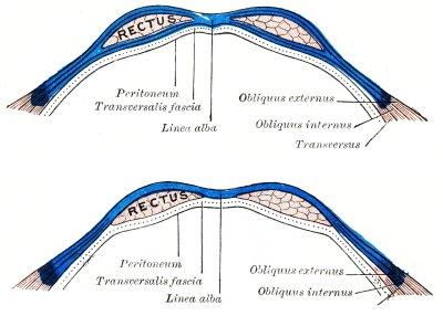 Anatomie der Rektusscheide: Bauchmuskeln