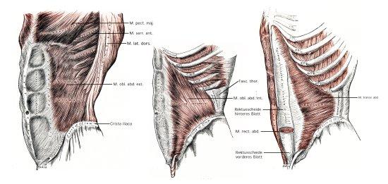 Bauchmuskeln seitliche und vorder Bauchmuskulatur