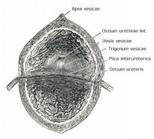 Abbildung innere Anatomie der Harnblase mit Trigonum und Ostien