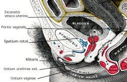 Abb. Harnblase Anatomie