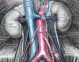 Anatomie der Harnleiter