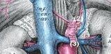 Anatomie der Nebennieren
