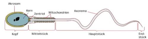 Spermien Anatomie der Samen Samenzelle