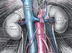 Abb. urologische Anatomie