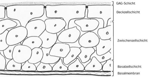 Histologie Urothel Übergangsepithel